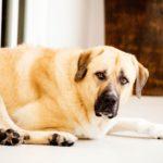 Pet Photography Singapore big light brown cream coloured dog lying down portrait