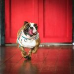 Pet Photography Singapore brown and white bulldog running on wooden floor with tongue out