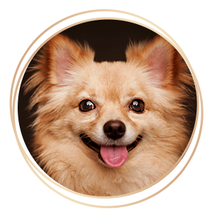 Pet Photography brown chihuahua dog with tongue hanging out