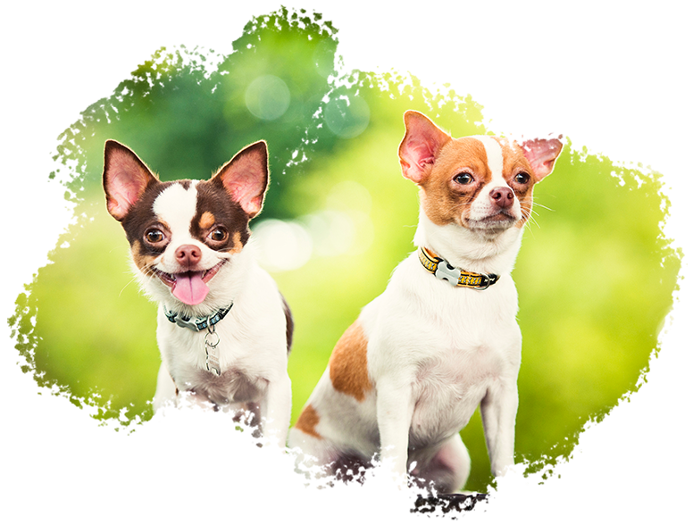 Pet Portrait Photography Singapore 2 chihuahuas sitting with nature landscape behind